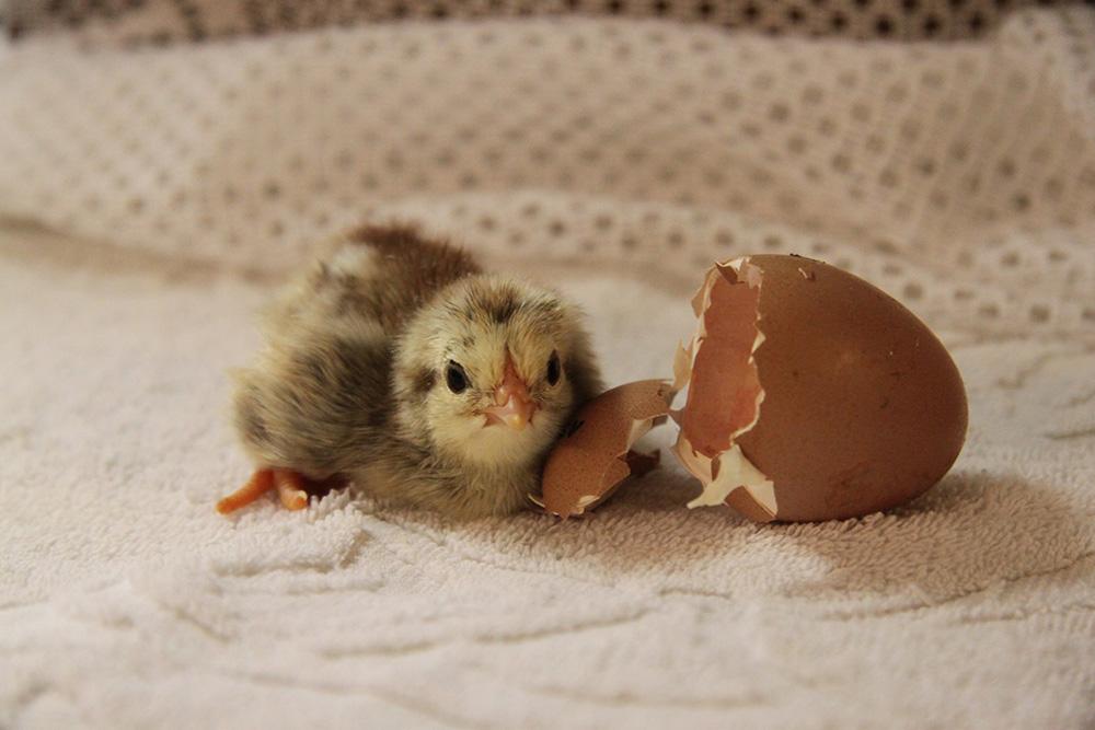 цыплятa